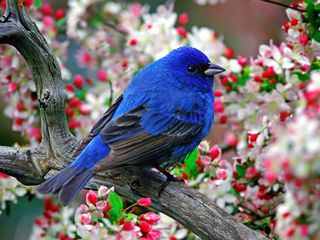 Male-indigo-bunting-pictures 2