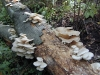 Oyster_mushrooms
